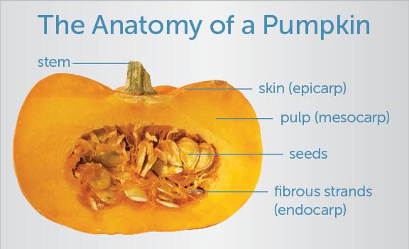 Pumpkin anatomy